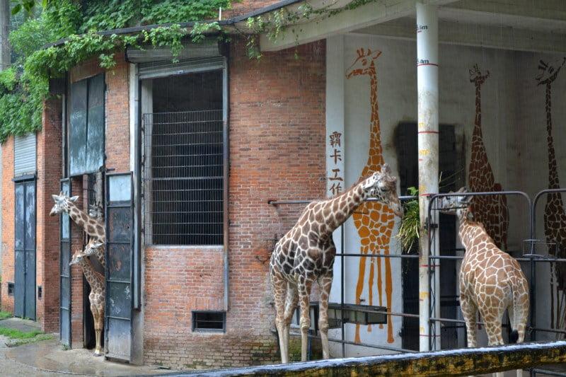 Жирафам дождь не помеха